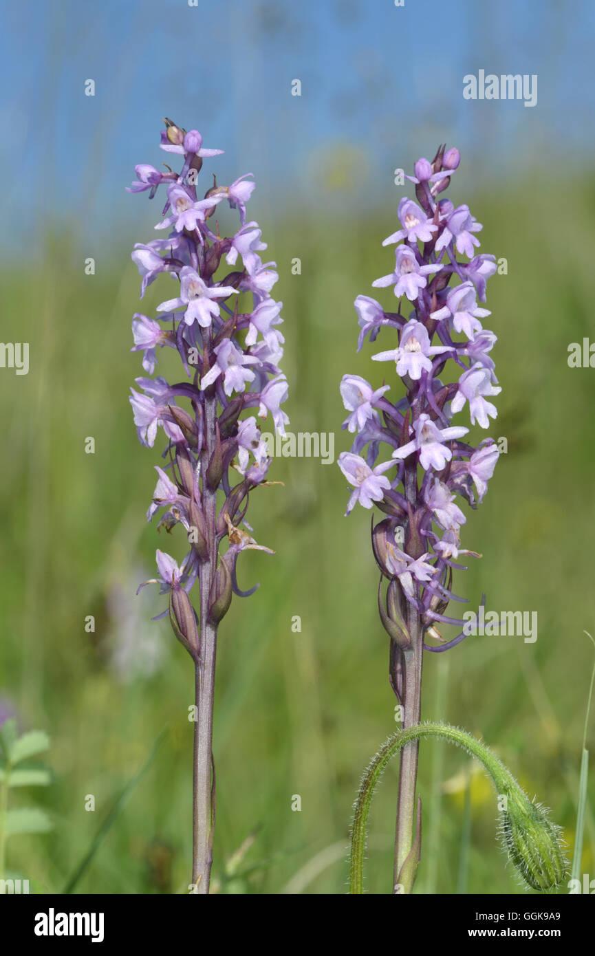 Chalk Fragrant-orchid - Gymnadenia conopsea - Stock Image
