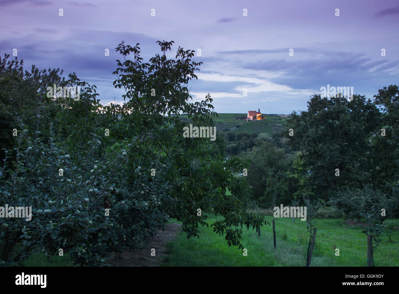 Quince and fruit tree orchard with Maria im Weingarten pilgrimage church in the distance at dusk, Volkach, Franconia, - Stock Image