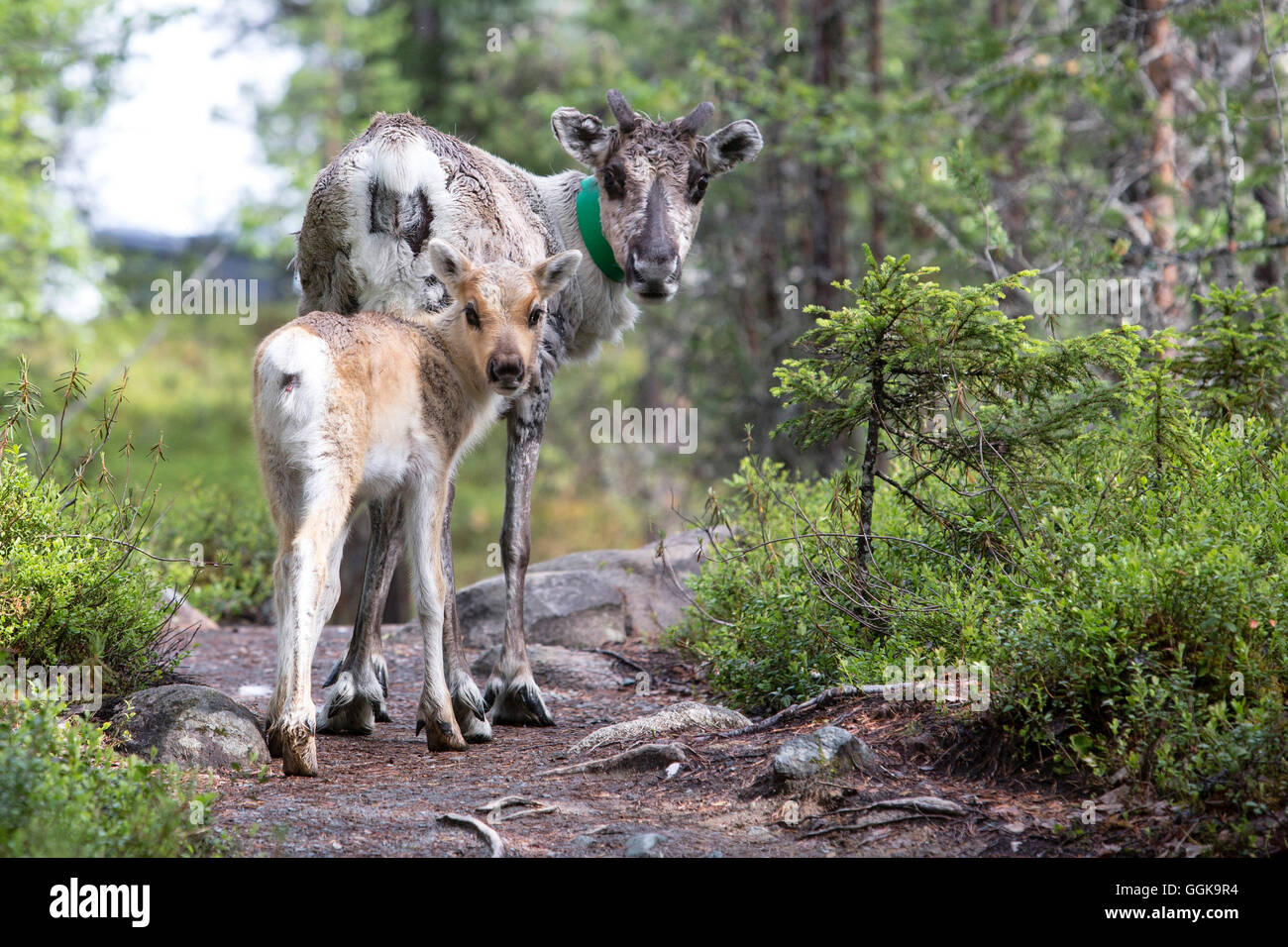 Reindeer and young animal, Oulanka National Park, Northern Ostrobothnia, Finland - Stock Image
