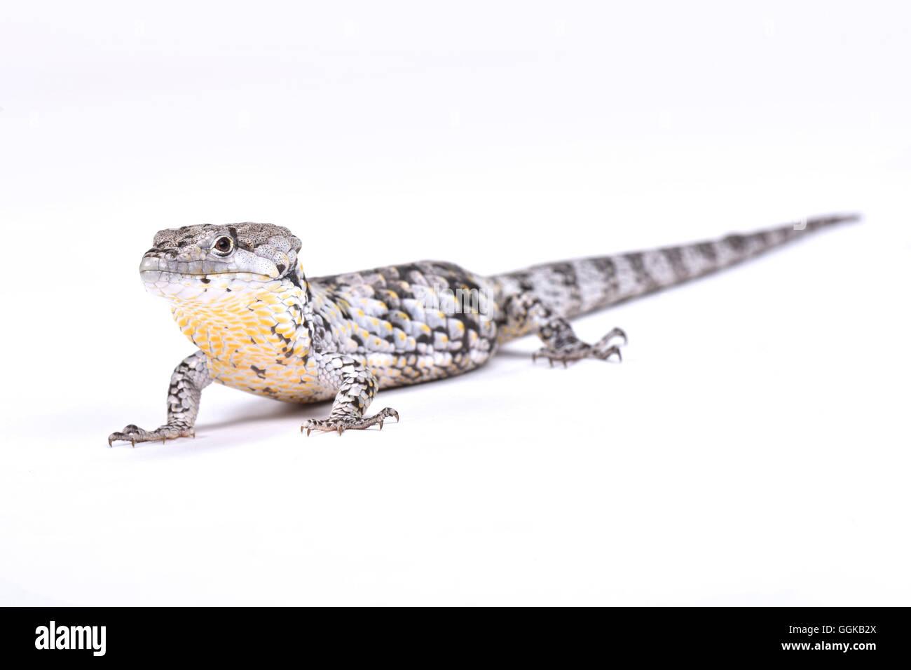 Deppe's Arboreal Alligator  (Abronia deppii) Stock Photo