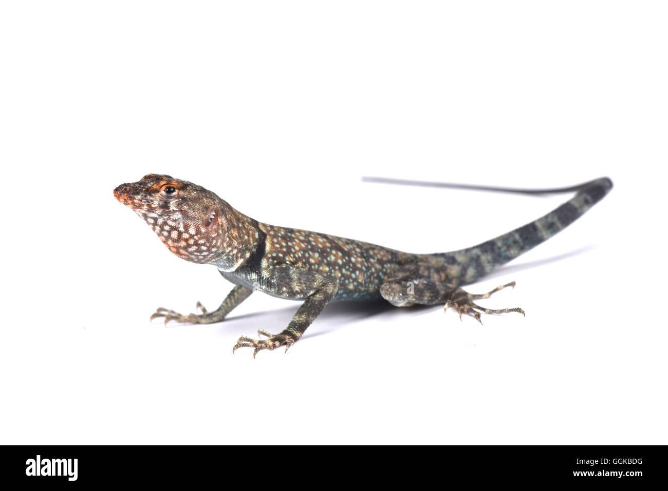 Banded Rock Lizard  (Petrosaurus mearnsi) - Stock Image