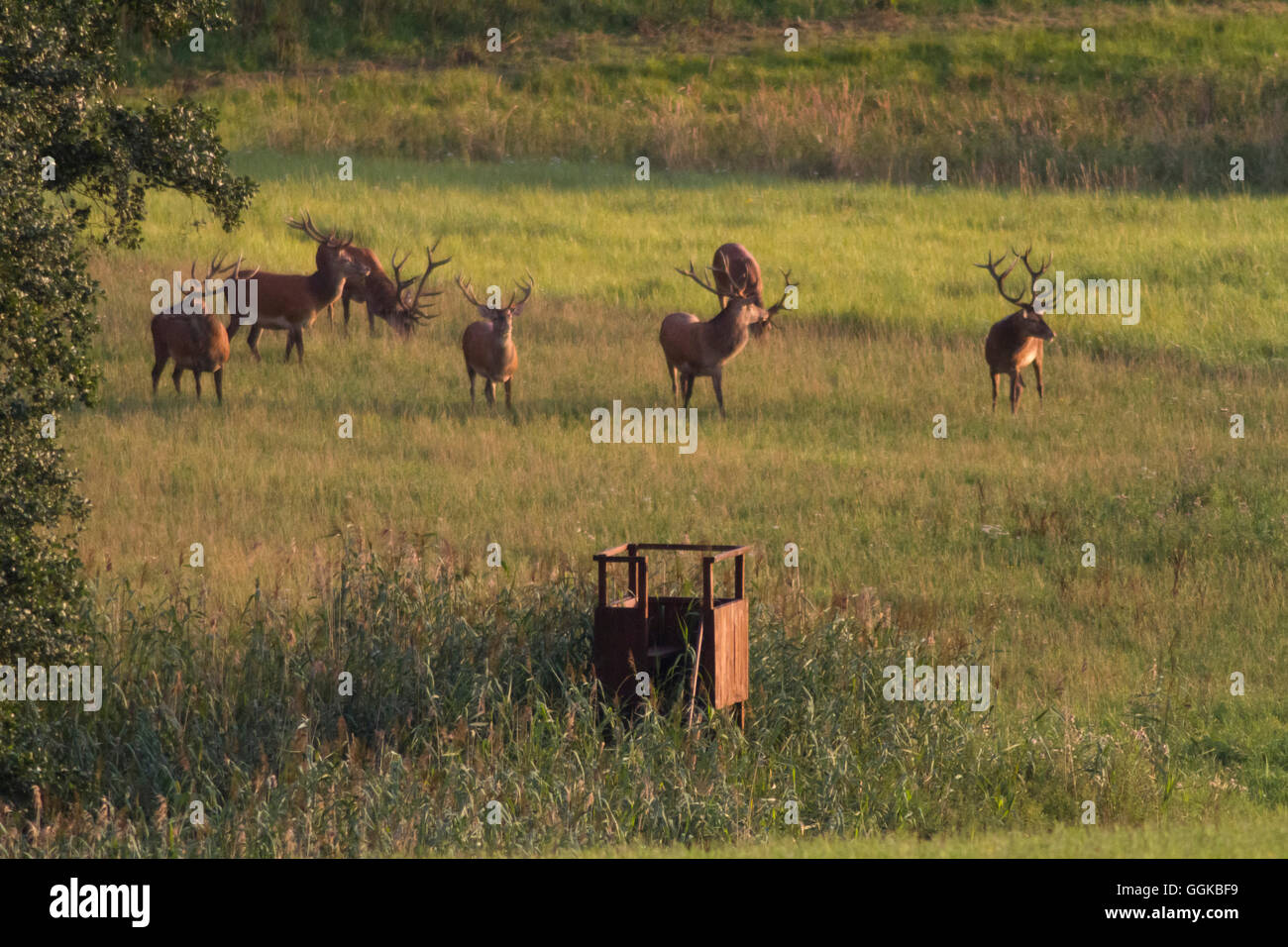 Red deer on a meadow, Klepenshagen nature reserve, Deutsche Wildtier Stiftung, Mecklenburg-Vorpommern, Germany - Stock Image