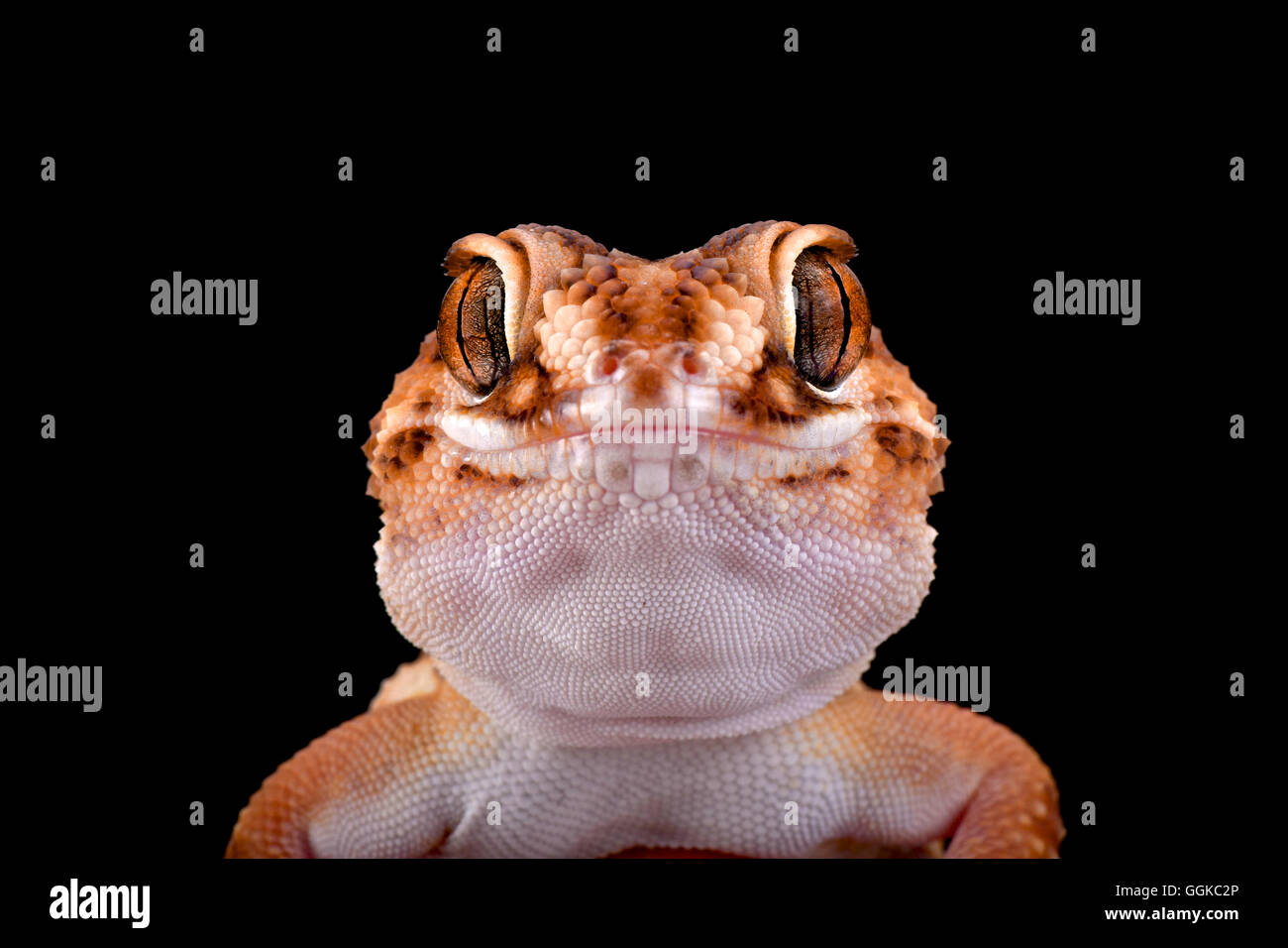 South African Ground Gecko  (Chondrodactylus angulifer ), Namibia - Stock Image