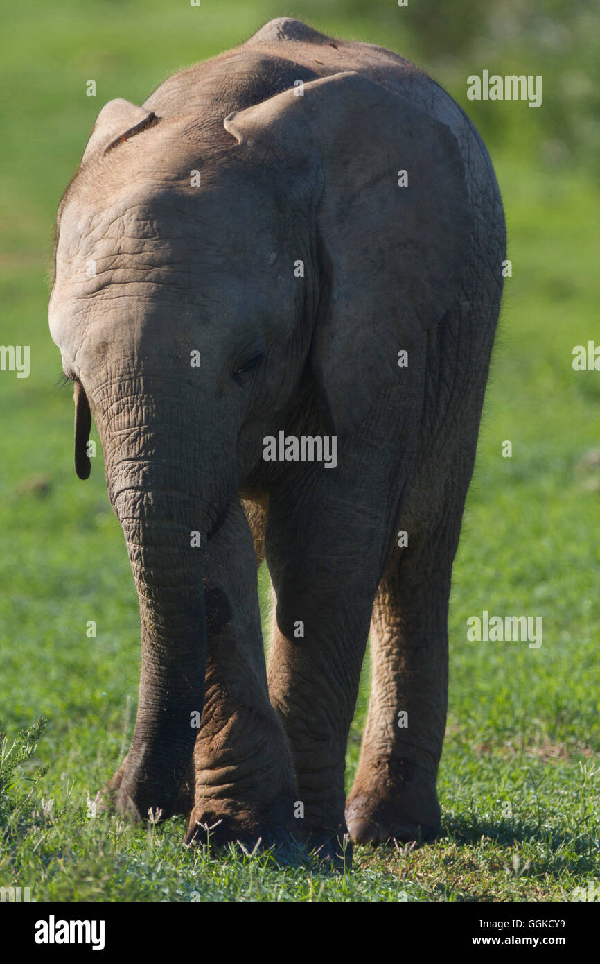 Elephant, Addo Elephant National Park, Eastern Cape, Südafrika - Stock Image
