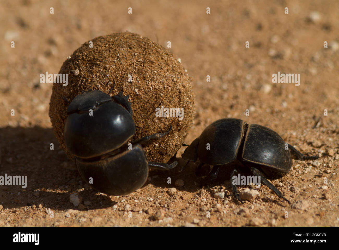 Dung Beetle, Addo Elephant National Park, Eastern Cape, Südafrika - Stock Image