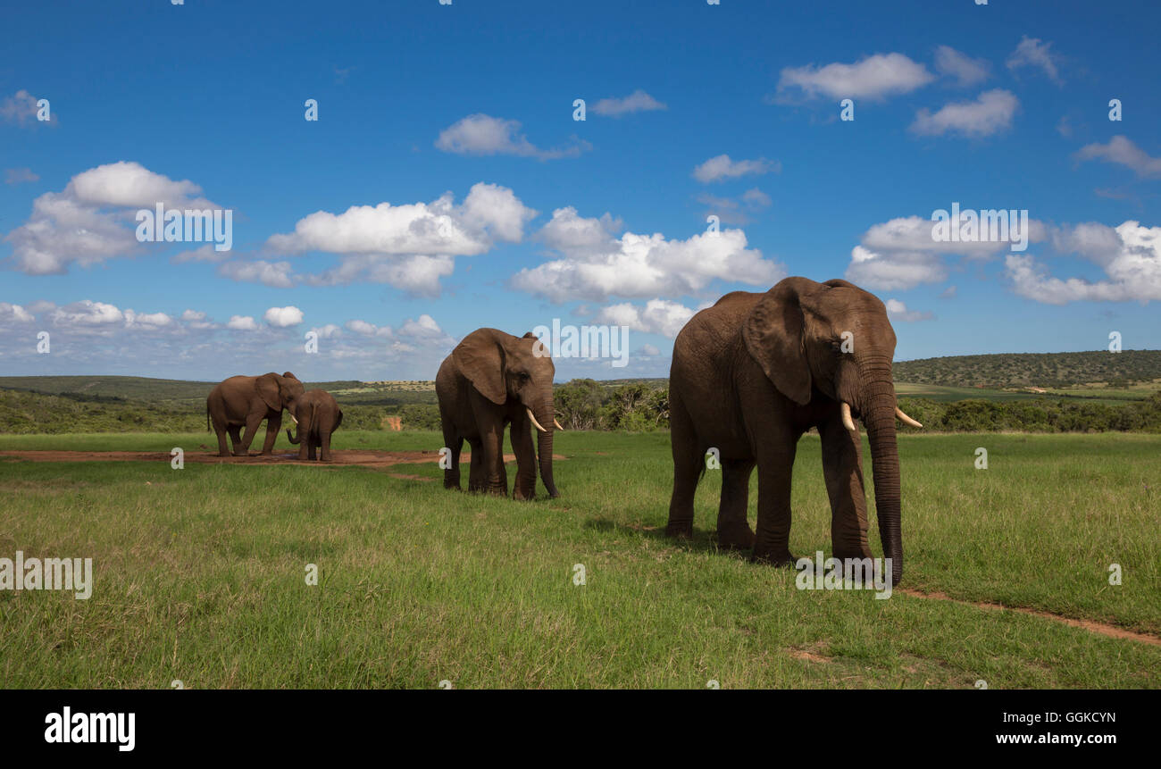 Elephants in Addo Elephant National Park, Eastern Cape, Südafrika - Stock Image