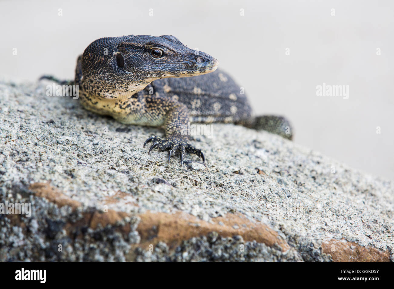 A lizard on the beach, Kota Kinabalu, Borneo, Malaysia. - Stock Image