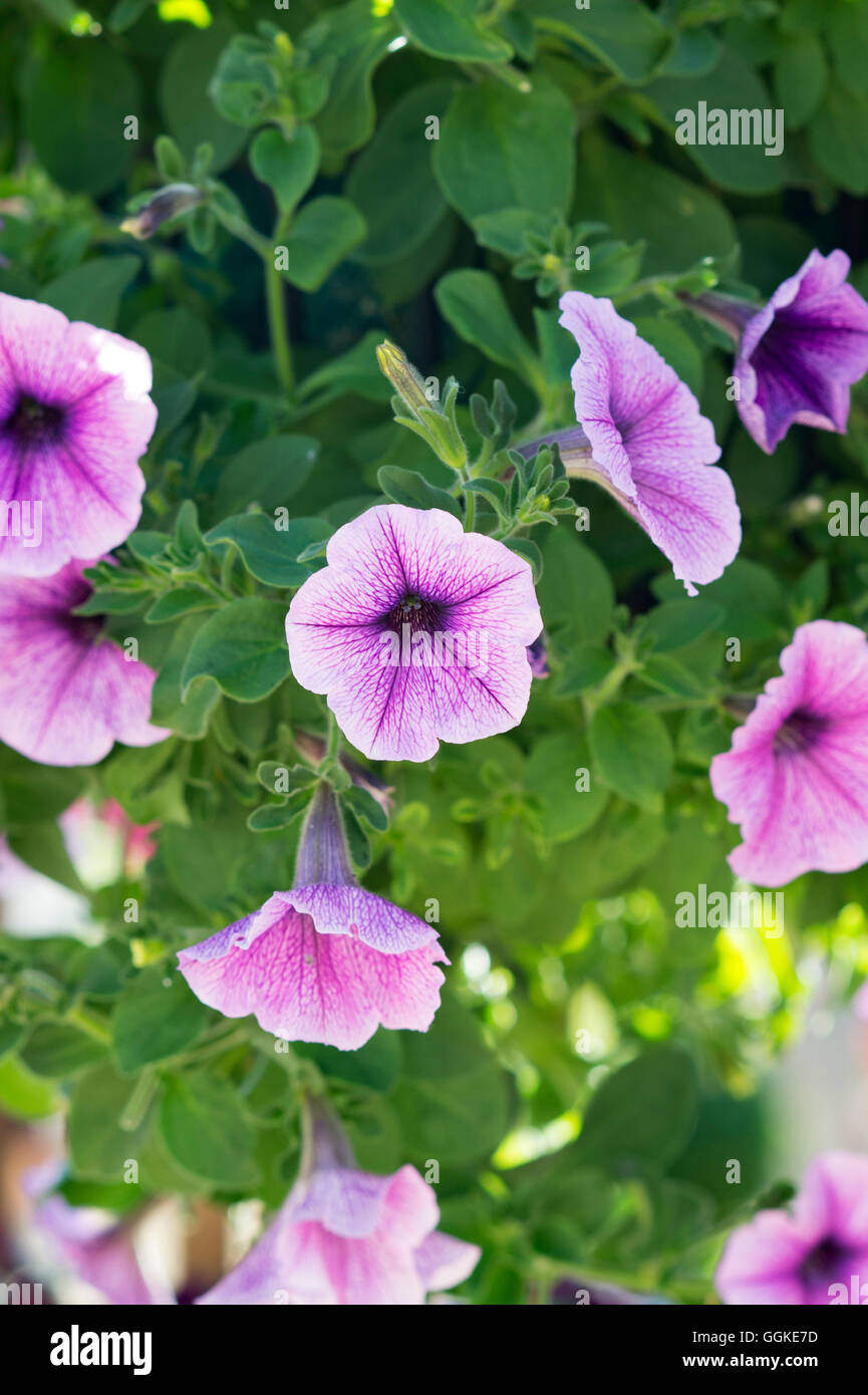 Petunia f1 easy wave 'plum vein' flowers in a hanging basket - Stock Image