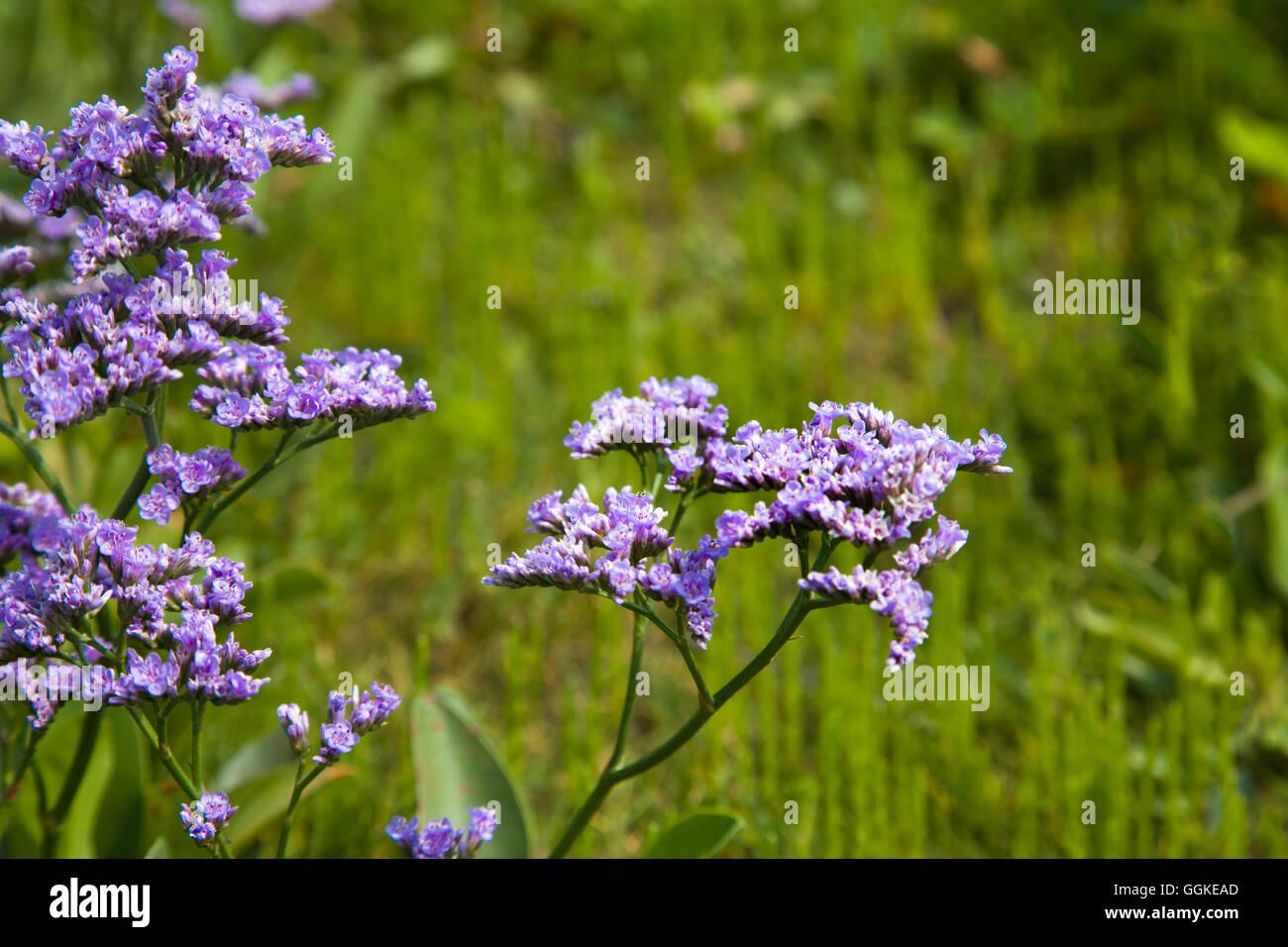 Hallig lilac, Hallig Langeness, North Frisian Islands, Schleswig-Holstein, Germany - Stock Image
