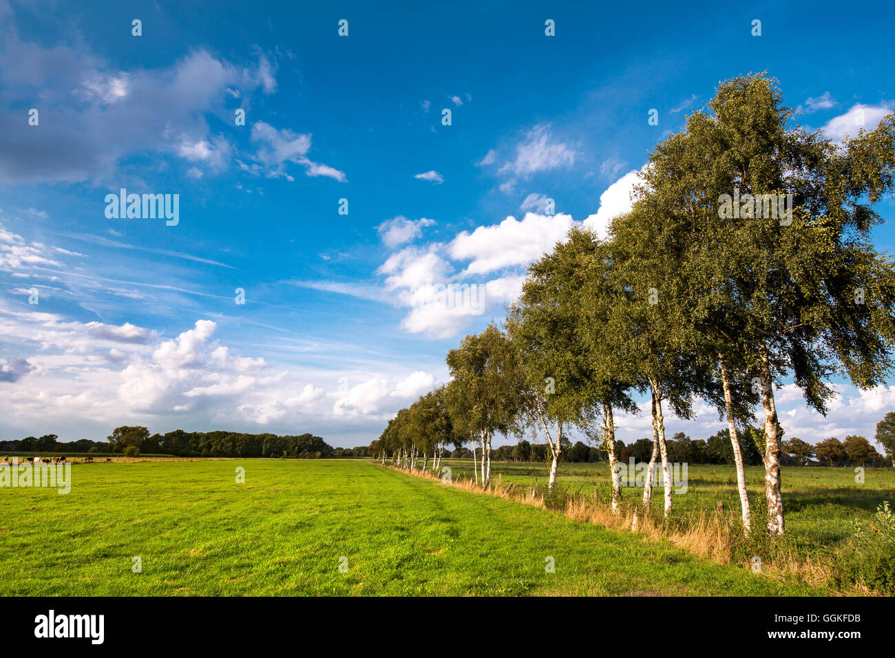 Birch alley, Worpswede, Teufelsmoor, Lower Saxony, Germany - Stock Image