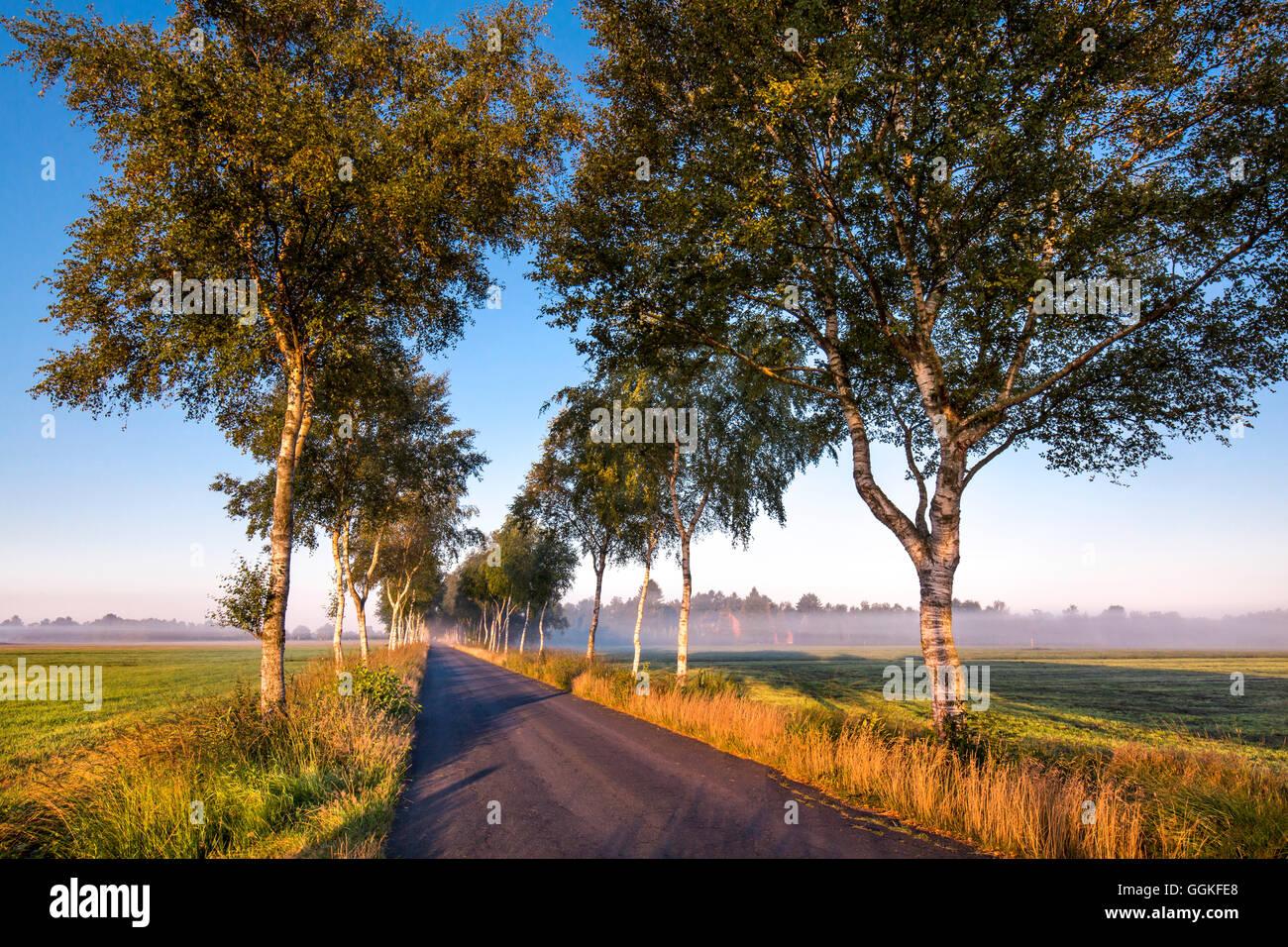 Birch tree alley, Worpswede, Teufelsmoor, Lower Saxony, Germany - Stock Image