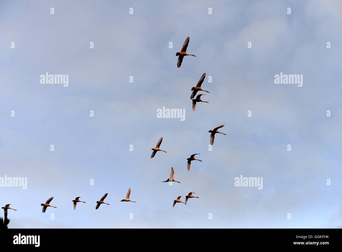 Birds going to warmer country, making skein in the sky - Stock Image
