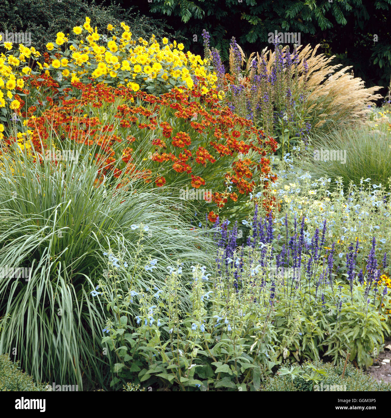 Perennial Border - Grasses  Salvias  Heleniums and Helianthus- - (July/August)   PGN016495     Photo - Stock Image