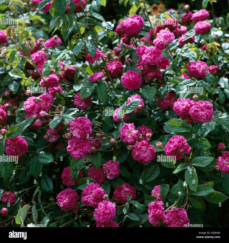 Rosa Cardinal De Richelieu Agm Gallica Shrub Rose Rsh025096