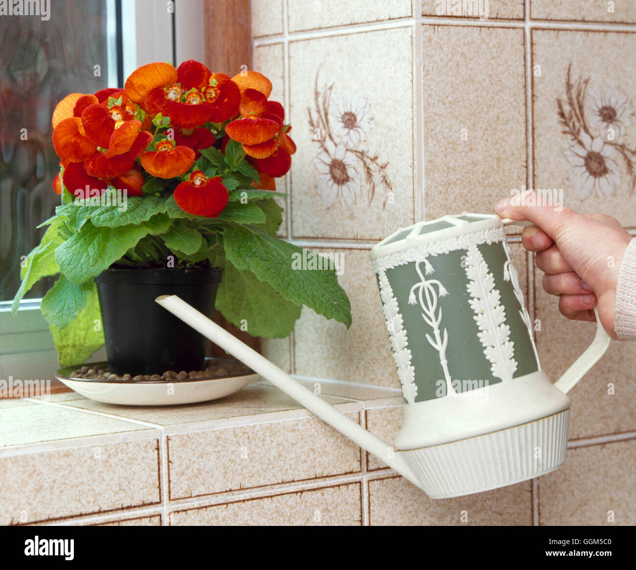 Houseplant Care: - Watering pebbles to maintain humidity / microclimate  for Calceolaria   TAS031277  Compulsory - Stock Image