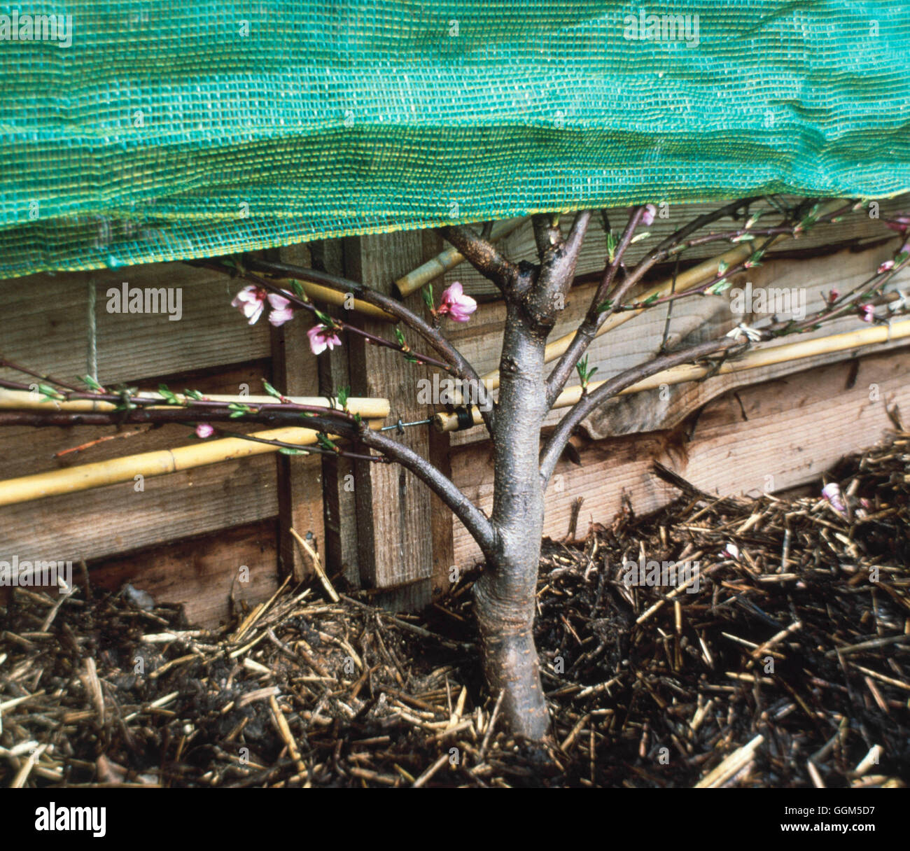Mulch - of manure around fruit tree - (also protective netting covering top to prevent frost damage)   TAS035623 - Stock Image