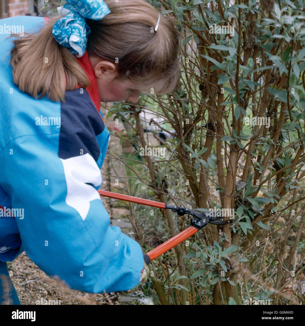 Pruning - Shrubs - Buddleja - using long-handled secateurs   TAS069706 - Stock Image