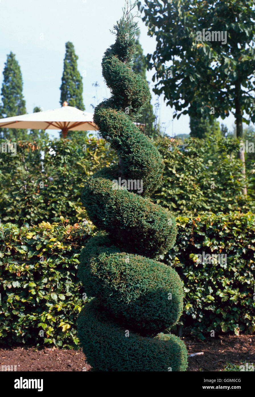Topiary - of Chamaecyparis lawsoniana 'Fletcheri' (20 years old)   TOP104976     Photos Horticultura - Stock Image