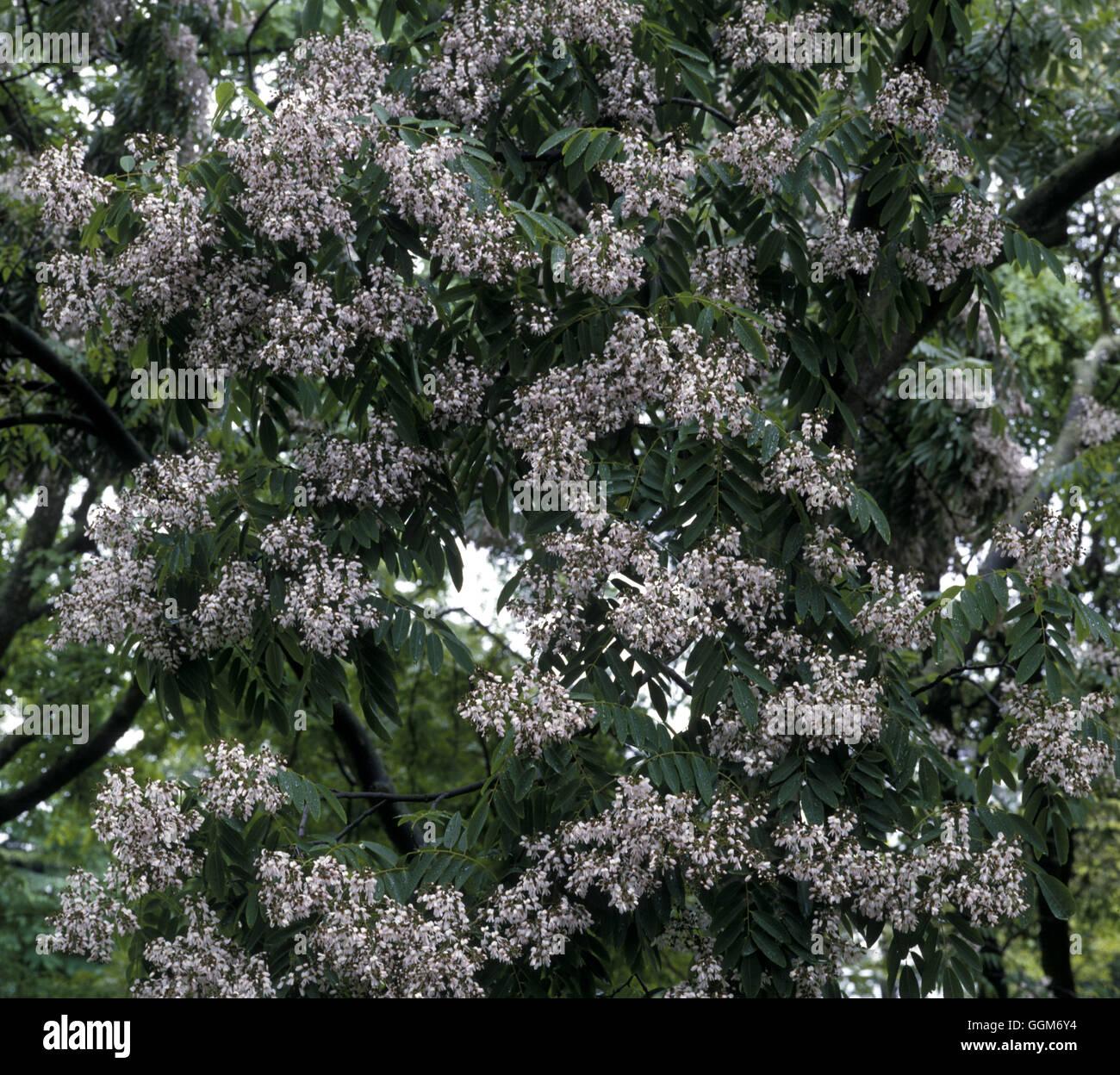 Cladrastis sinensis  Date: 23.06.08  TRS01221 - Stock Image