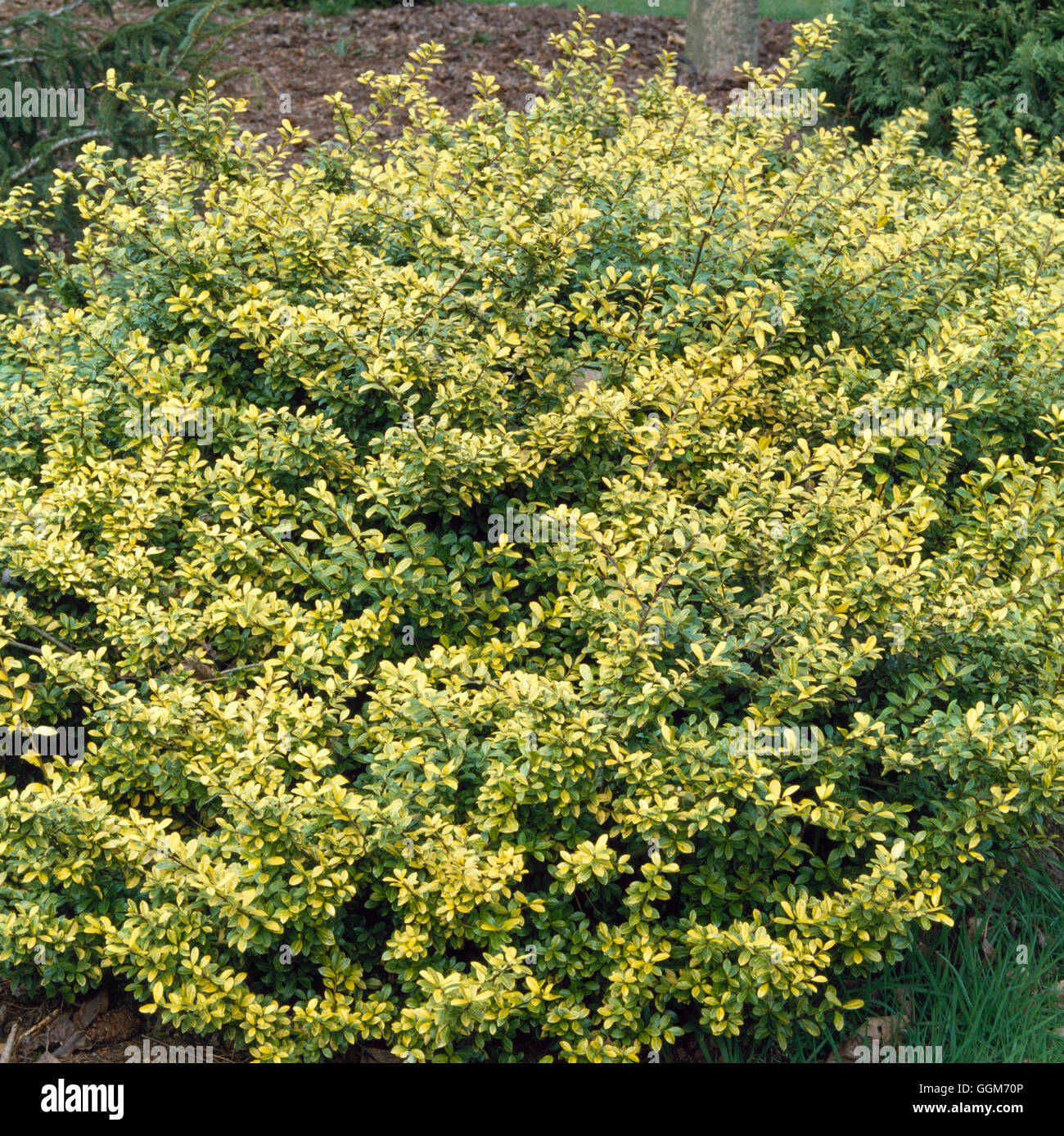 Ilex Crenata Golden Gem ilex crenata - 'golden gem' agm- (female) trs014214 stock