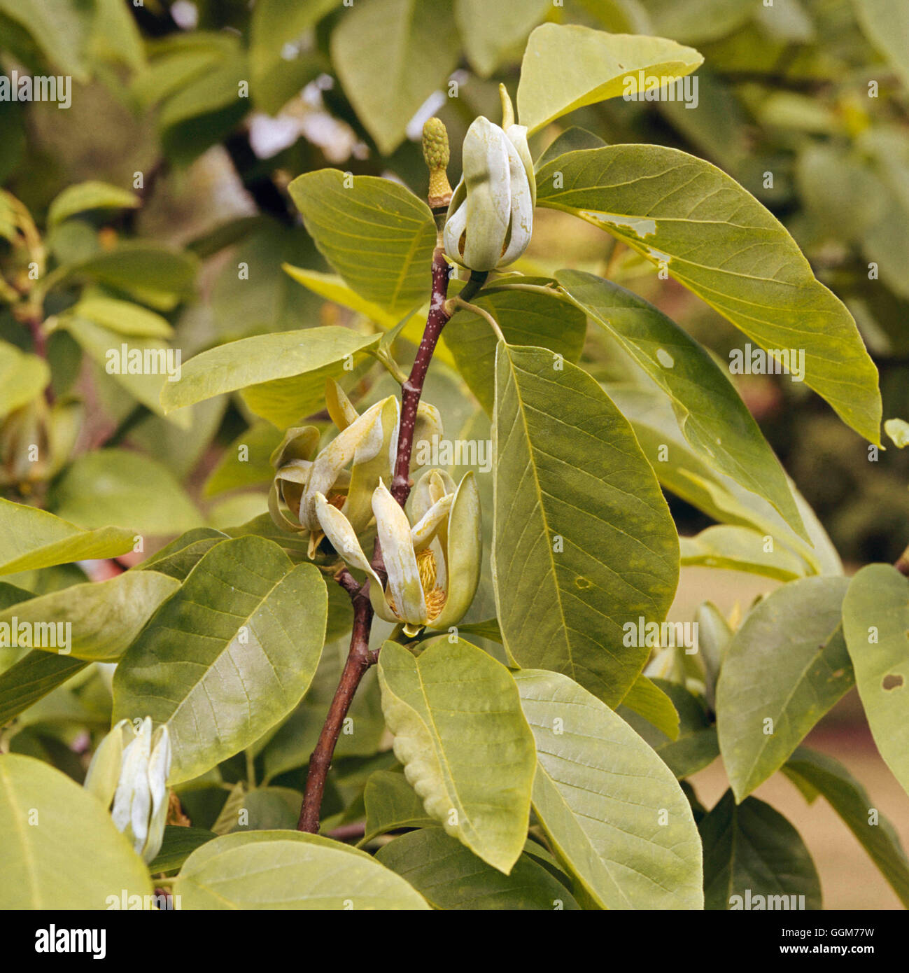 Magnolia Acuminata Cucumber Tree Trs023966 Stock Photo 113541453