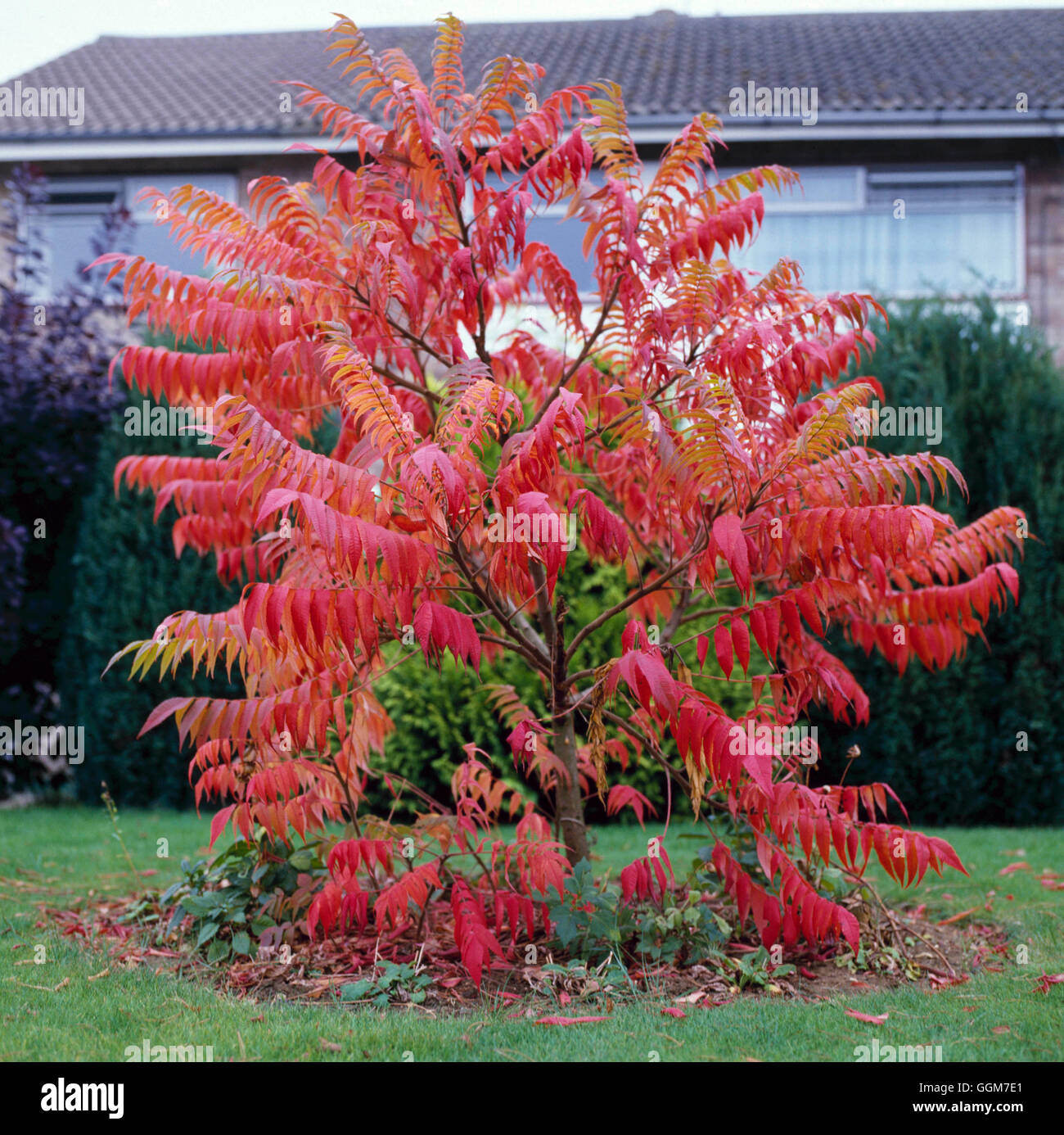 Rhus typhina AGM- in Autumn colour   TRS028483 - Stock Image