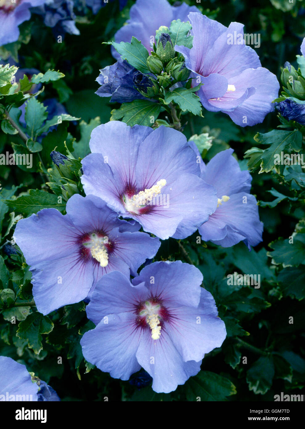 hibiscus syriacus oiseau bleu syn stock photos hibiscus. Black Bedroom Furniture Sets. Home Design Ideas