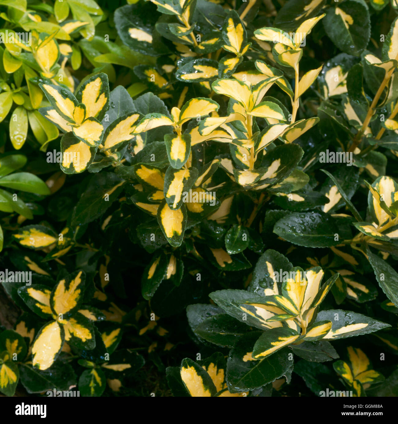 Euonymus fortunei - 'Blondy'   TRS085068 - Stock Image