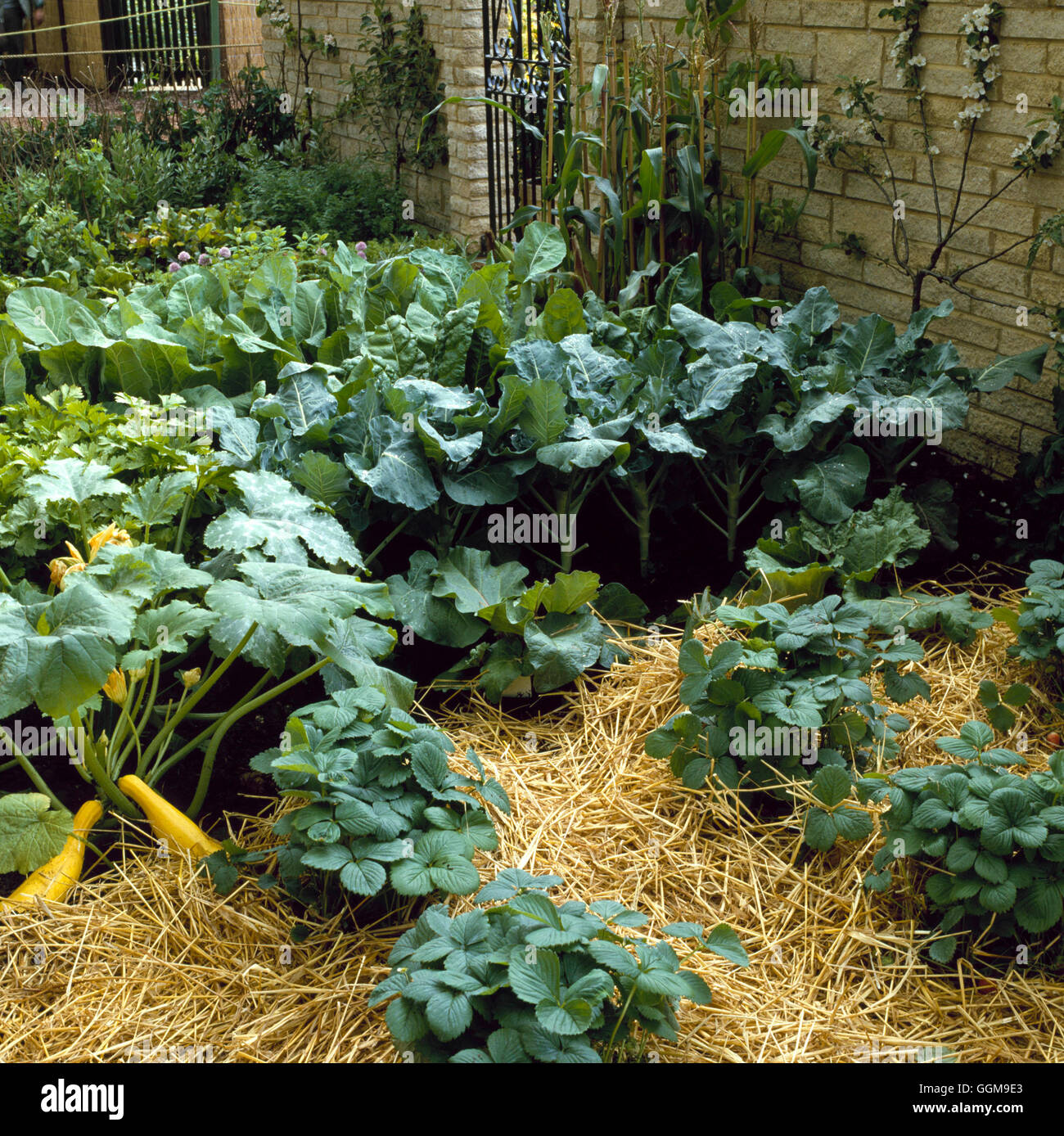 Vegetable and Fruit Garden - with Strawberries  Courgettes  Sweet Corn  Brassicas and fan-trained Apple tree   VFR0193 - Stock Image