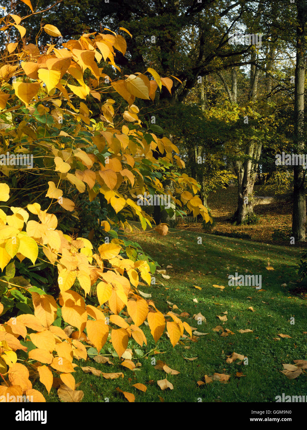 Woodland Garden - in Autumn with Japanese Knotweed (Fallopia Stock ...