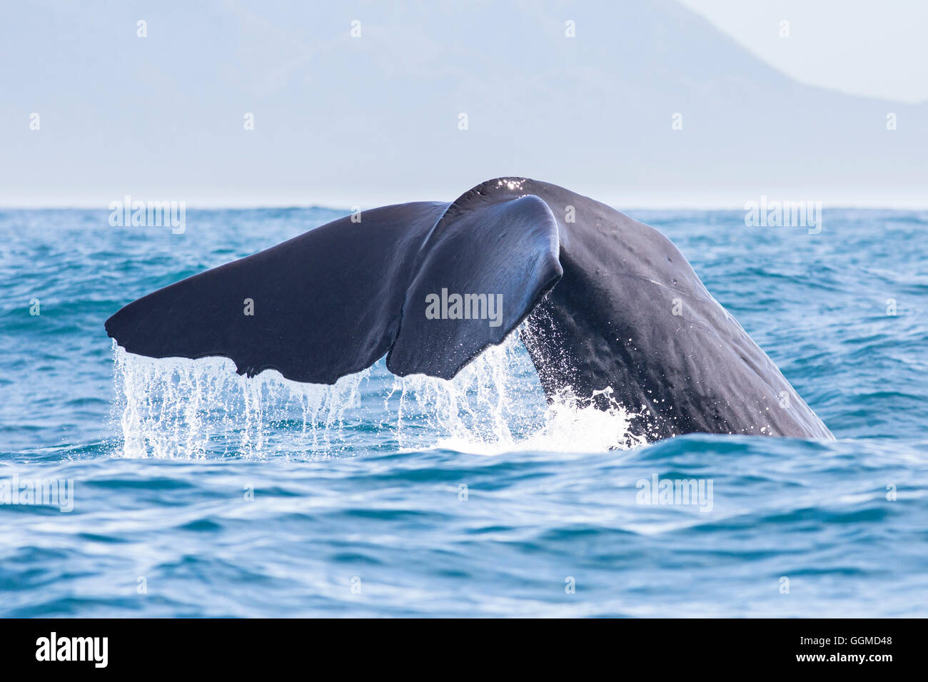 Fluke of a spermwhale at Kaikoura, South Island, New Zealand - Stock Image