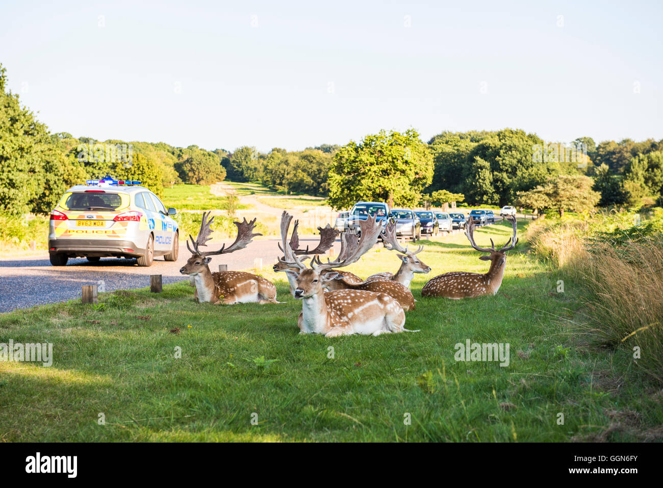 Richmond Park/London, UK, 6th Aug, 2015. Deer in Richmond park calm in the afternoon sun despite heavy traffic congestion, - Stock Image