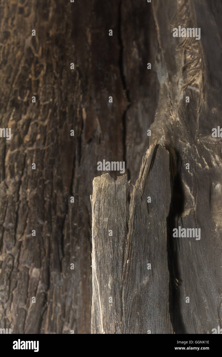Selective focus Bark of tree texture and background - Stock Image