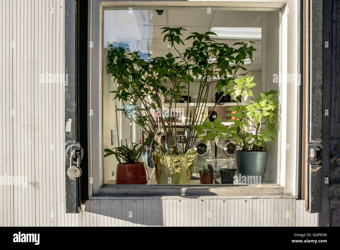 south window of corner laundromat on 10th avenue with well tended living plants screening machines & bundles - Stock Image