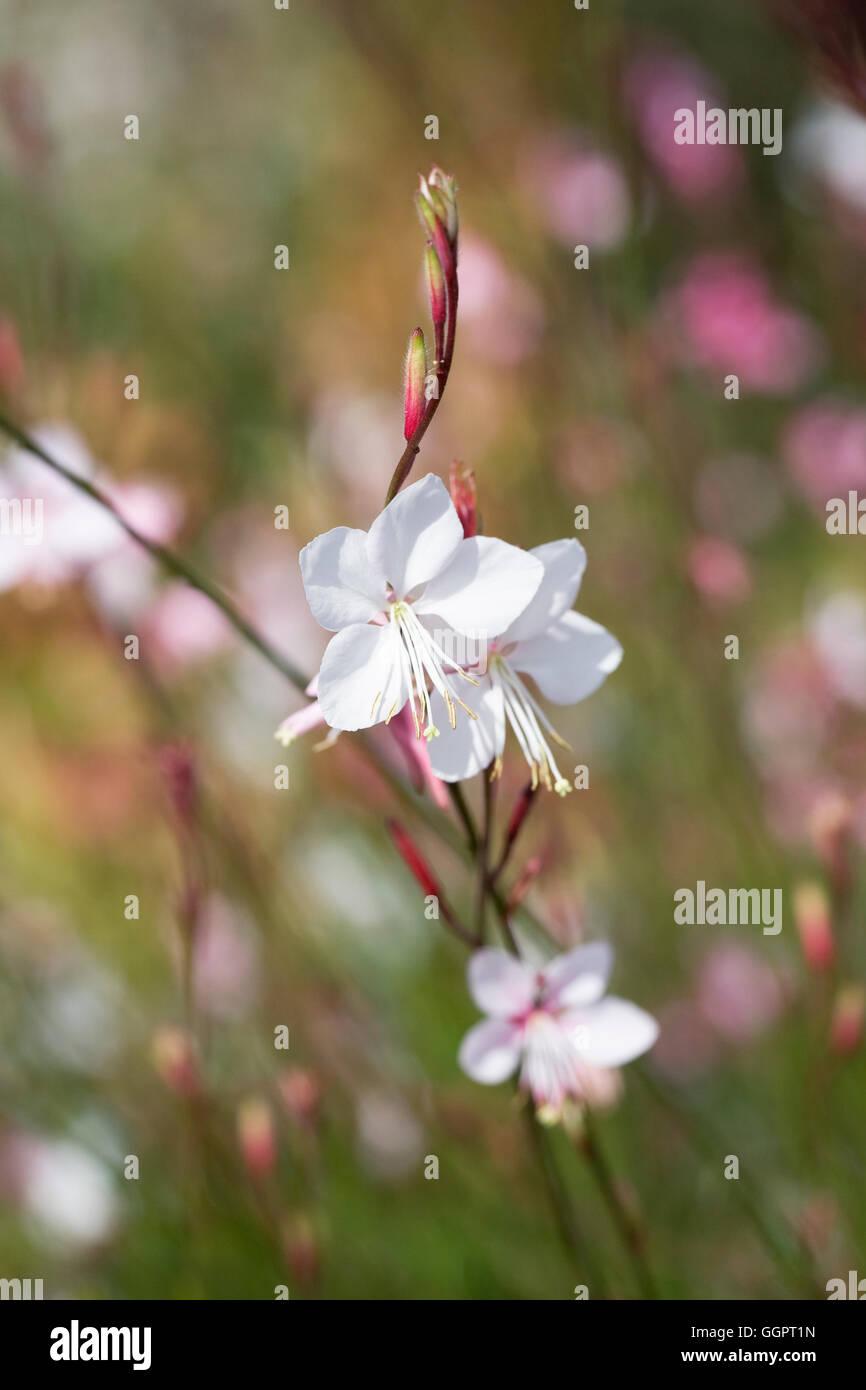 Gaura lindheimeri 'Siskiyou Pink' flowers. Stock Photo