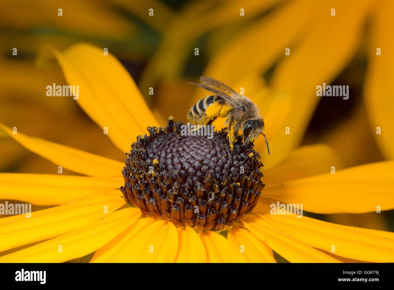 Bee sitting on yellow flower in macro view Stock Photo