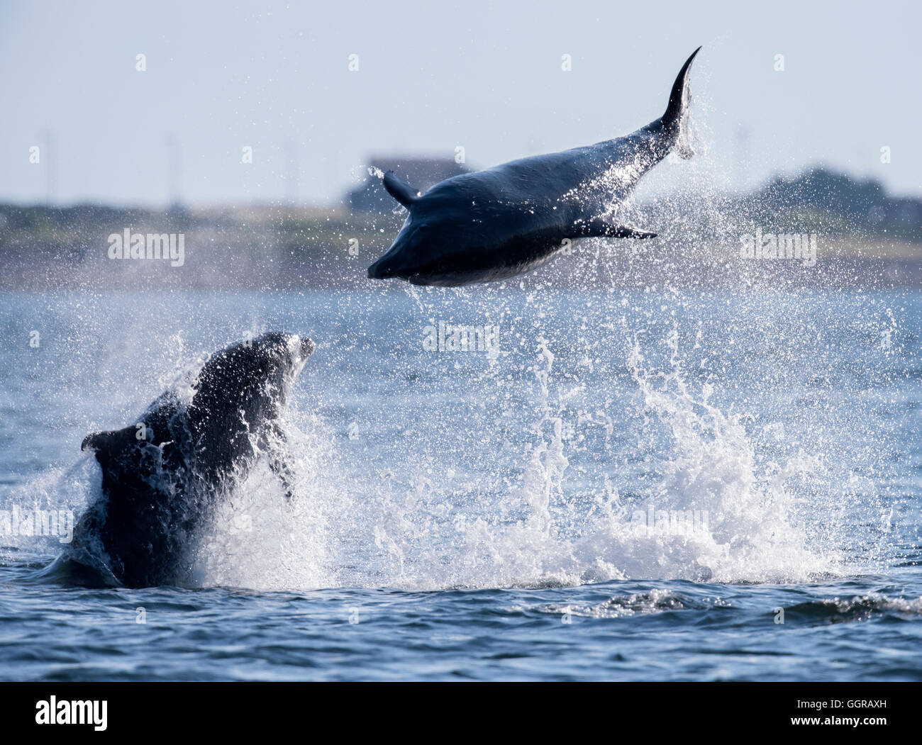 Two Bottlenose Dolphins (Tursiops truncatus) socializing at Chanonry Point, Moray Firth, Scotland - Stock Image