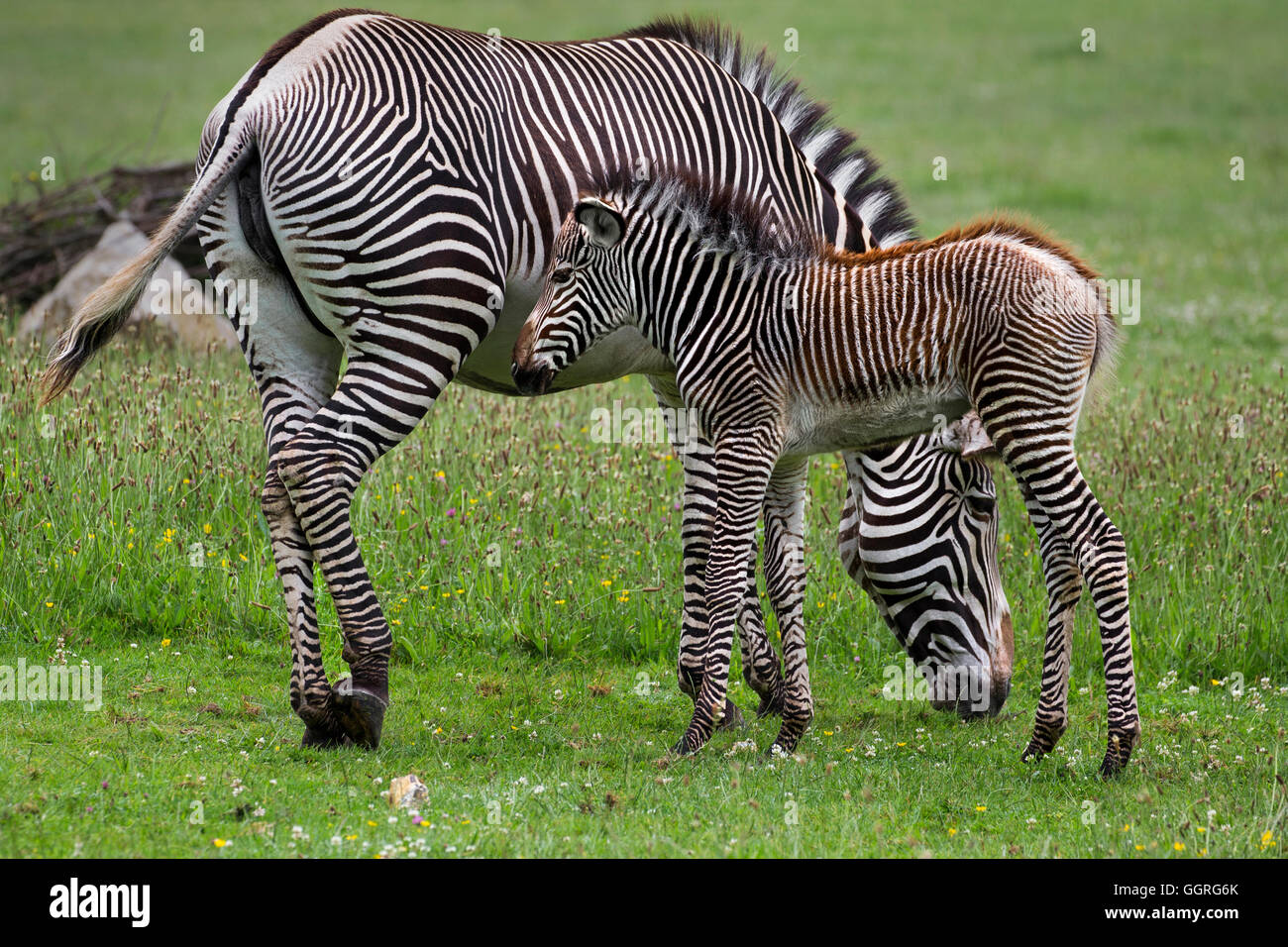 Grévy's zebra with her three-week-old foal - Stock Image