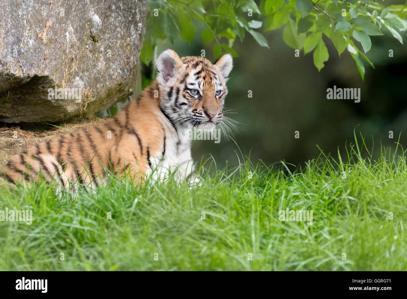 Amur tiger cub, 10 weeks old. - Stock Image