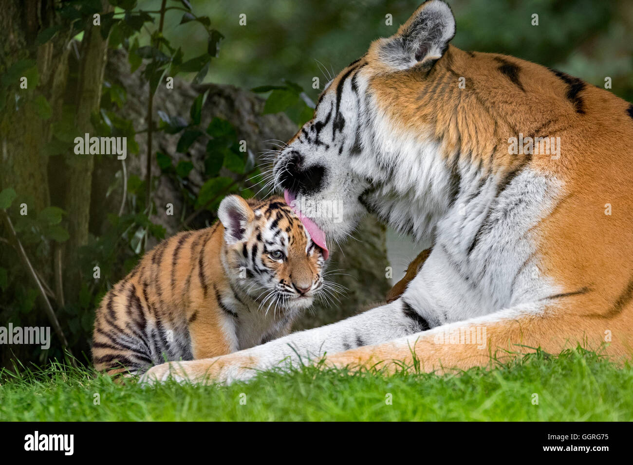 Amur tiger and her 10-week-old cub - Stock Image