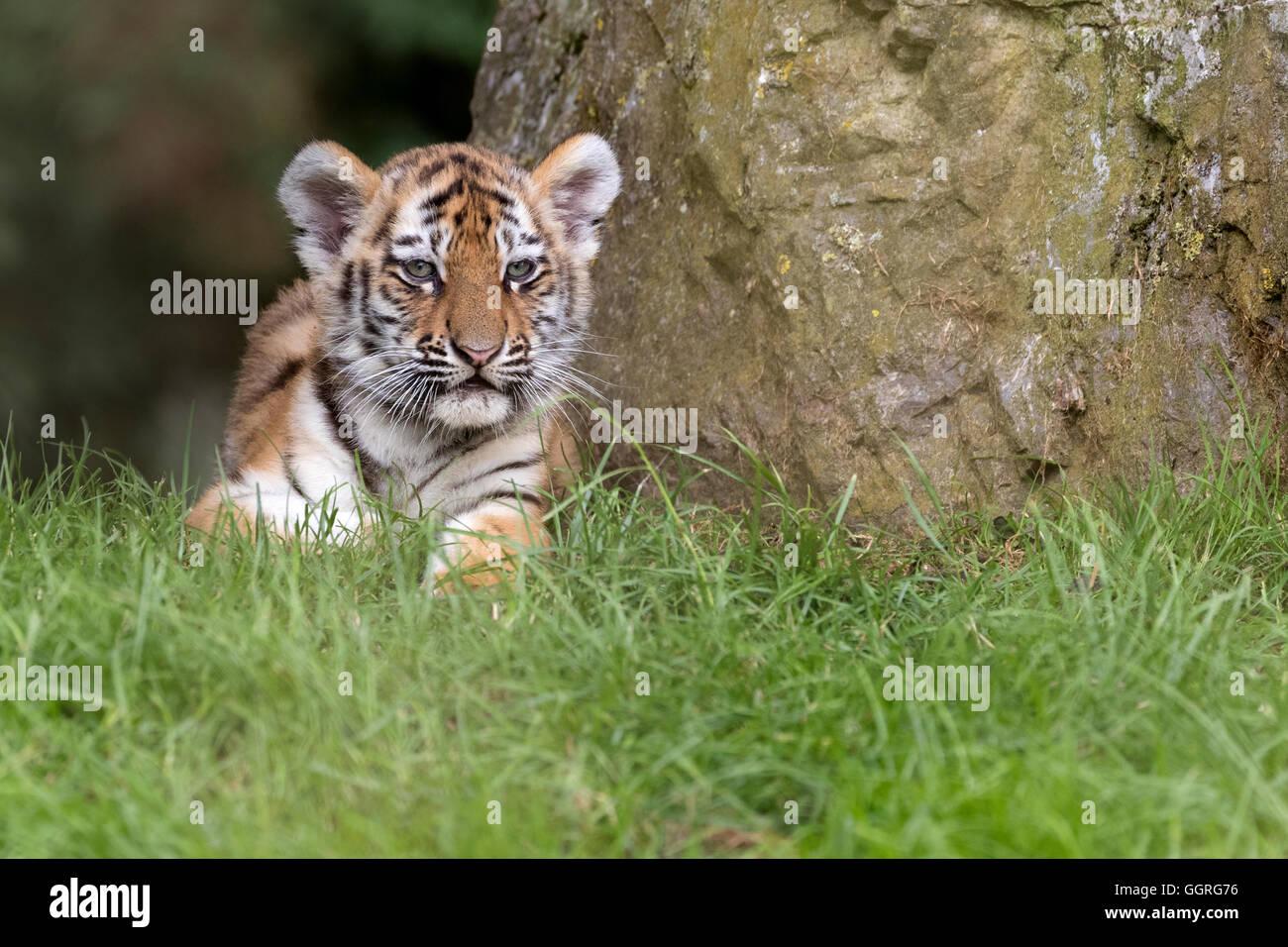 Amur tiger cub, 11 weeks old. - Stock Image