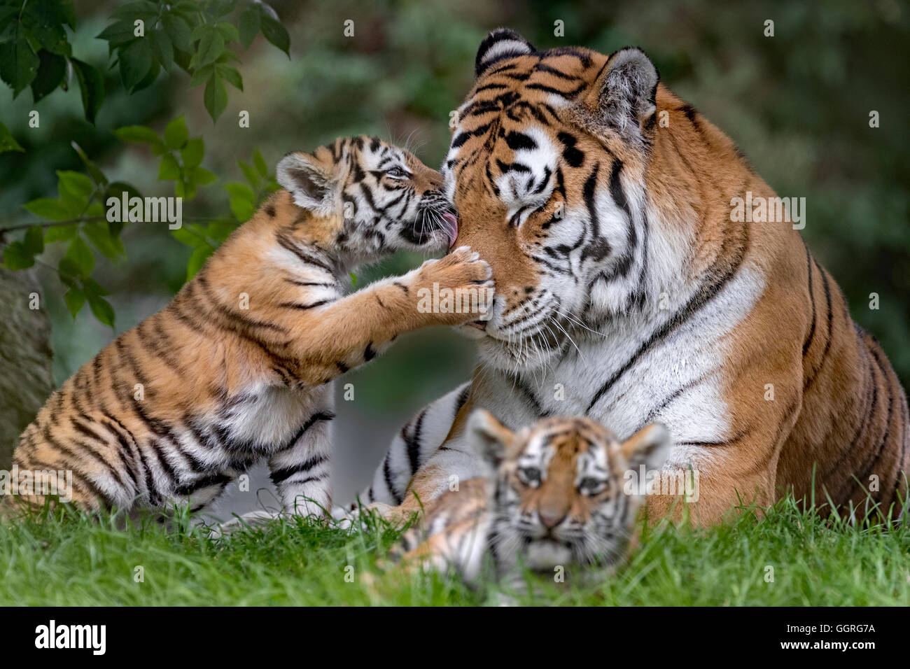 Amur Tiger cubs, 11 weeks old Stock Photo