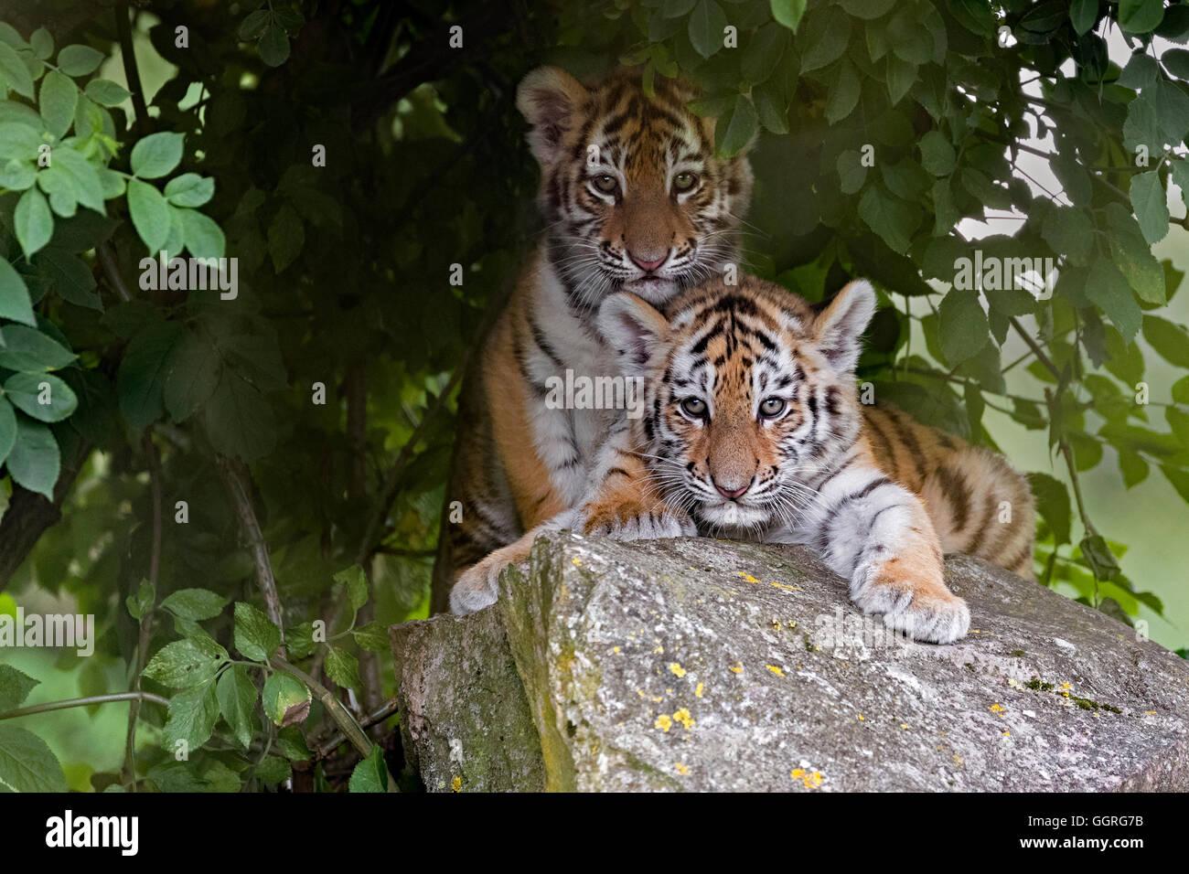 Amur tiger cubs, 11 weeks old. - Stock Image