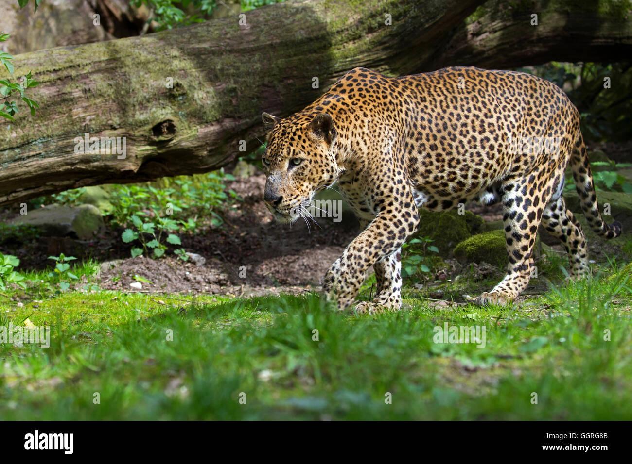 Sri Lankan leopard - Stock Image