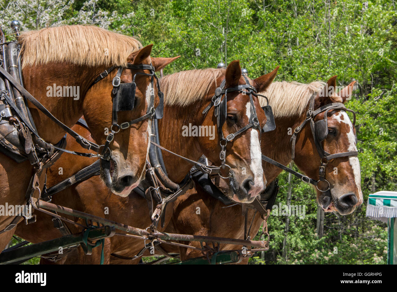 Michigan, Mackinac Island. Three sorrel horse carriage team. Stock Photo