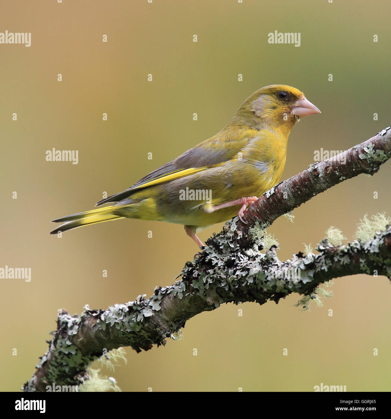 European Greenfinch, also known simply as Greenfinch, perched on a moss-like branch - Stock Image