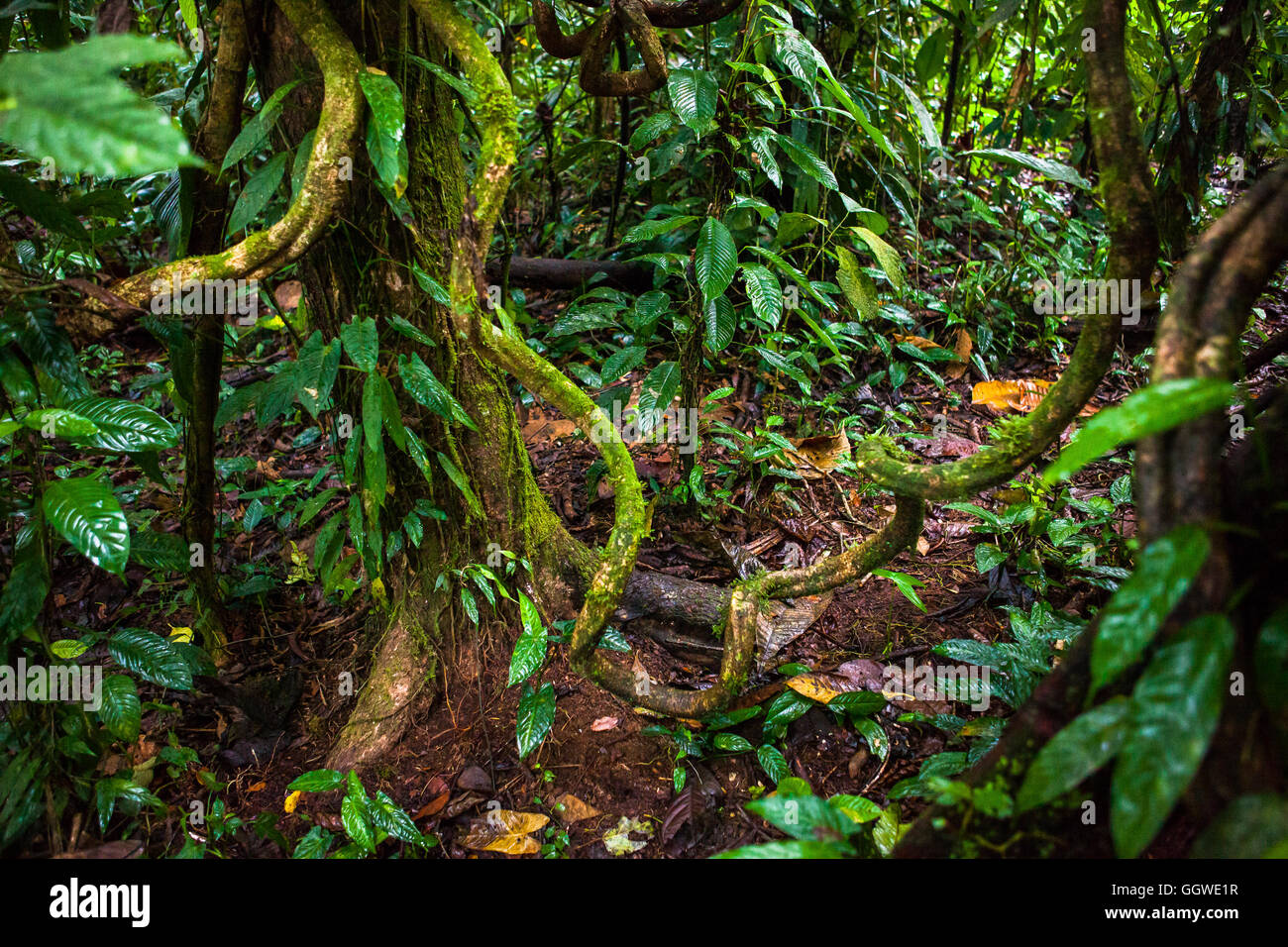 Stems and lianas in the Ecuadorian Amazon jungle - Stock Image