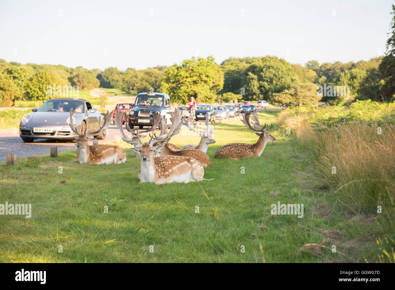 Deer in Richmond park rest by the congestion on a sunny summer afternoon - Stock Image