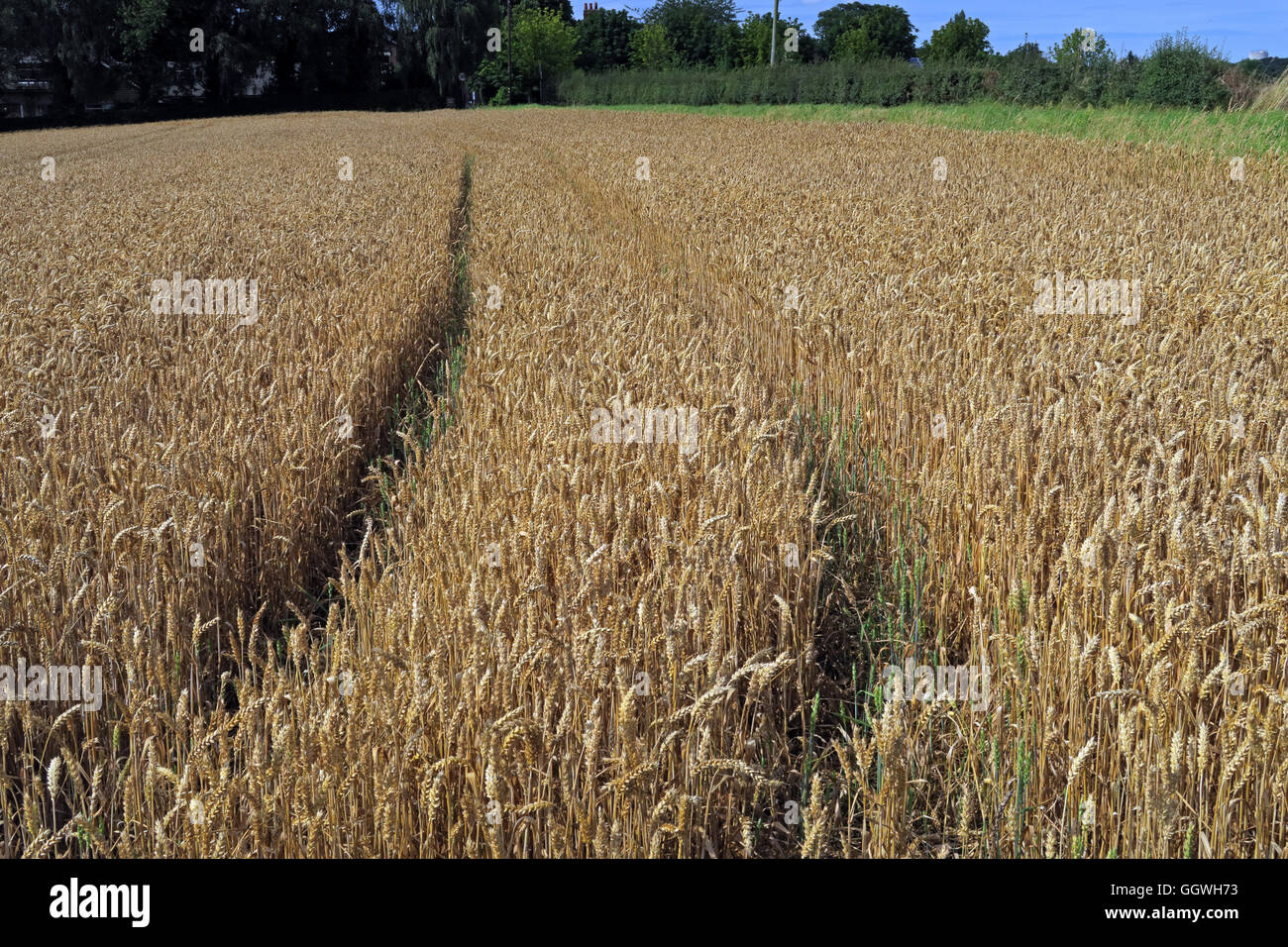 Wide shot of a Field of barley, ready for harvest, Preston on the Hill, Halton, Cheshire, North West England - Stock Image