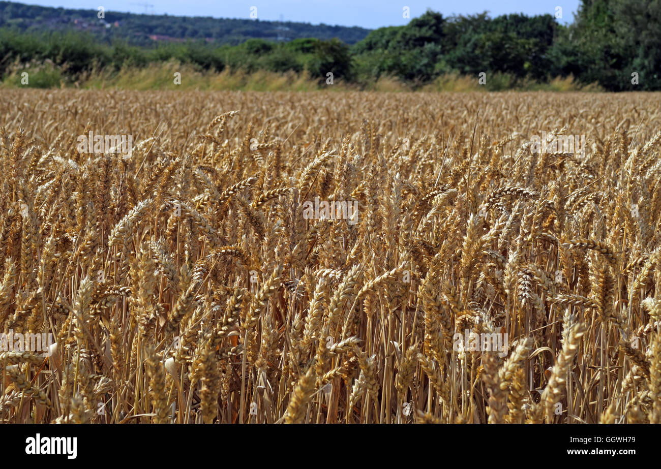 Field of barley, ready for harvest, Preston on the Hill, Halton, Cheshire, North West England - Stock Image